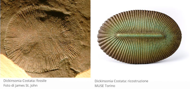 Dickinsonia Costata. Fossile: foto di James St. John. Ricostruzione: MUSE Torino