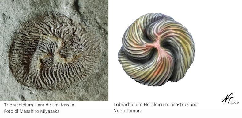 Tribrachidium Heraldicum. Fossile: foto di Masahiro Miyasaka. Ricostruzione: Nobu Tamura